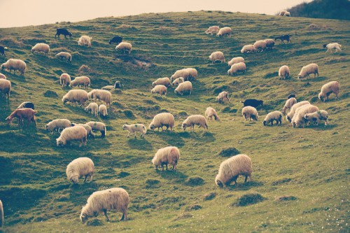 rural-landscape-with-sheeps-on-the-hill